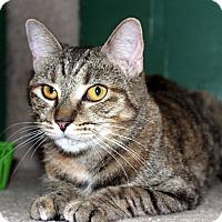 Adopt A Pet :: BellaRose - Fairfax, VA