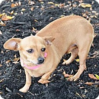 Chihuahua Mix Dog for adoption in Union City, Tennessee - Maddison