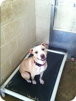 Pit Bull Terrier Dog for adoption in Freedom, Pennsylvania - Ice