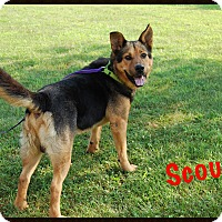 Adopt A Pet :: Scout - Columbia, PA