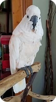 Cockatoo for adoption in St. Louis, Missouri - Banda