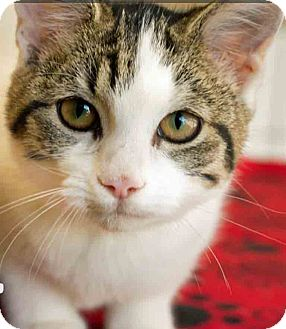 Domestic Shorthair Kitten for adoption in Gahanna, Ohio - Opal
