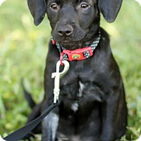 Labrador Retriever Mix Puppy for adoption in San Antonio, Texas - CHICA