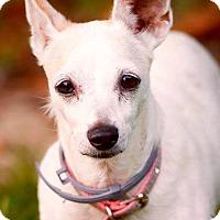 Adopt A Pet :: Precious - Hockessin, DE