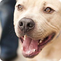 Pit Bull Terrier Mix Dog for adoption in Los Angeles, California - Ziegler