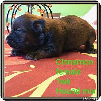 Hound (Unknown Type) Mix Puppy for adoption in NYC, New York - CINNAMON