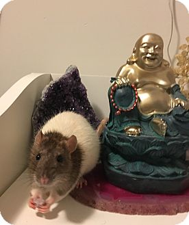 Rat for adoption in Welland, Ontario - Pinkie