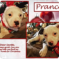 American Bulldog/Labrador Retriever Mix Puppy for adoption in Ringwood, New Jersey - Prancer