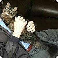 Adopt A Pet :: Mickie-Maine Coon - Ypsilanti, MI