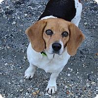 Adopt A Pet :: Penelope - Atlanta, GA