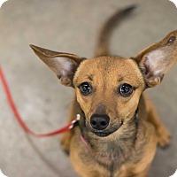 Adopt A Pet :: Milo - Minneapolis, MN