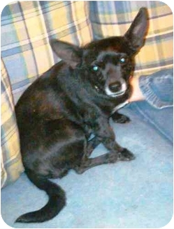 Chihuahua Mix Dog for adoption in Gilbert, Arizona - Sophie