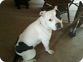 Australian Cattle Dog/American Pit Bull Terrier Mix Dog for adoption in Bellingham, Washington - Castle