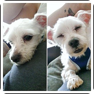 Maltese Dog for adoption in bridgeport, Connecticut - Desi