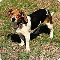 Adopt A Pet :: Amelia - Staunton, VA