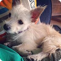 Adopt A Pet :: Princess Peanut - Pflugerville, TX