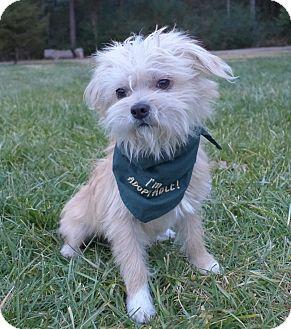 Clark | Adopted Dog | Mocksville, NC | Maltese/Norwich ...