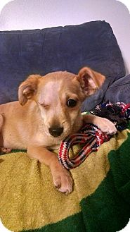 Terrier (Unknown Type, Small) Mix Puppy for adoption in Salem, Oregon - Sadie