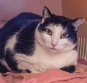 Domestic Shorthair Cat for adoption in Middletown, Connecticut - Eileen