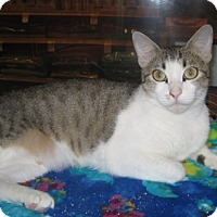 Domestic Shorthair Cat for adoption in Houston, Texas - Cochela