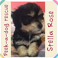 Adopt A Pet :: Stella Rose - South Gate, CA