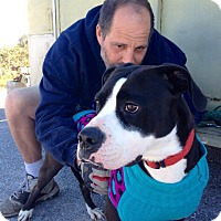 Labrador Retriever/American Staffordshire Terrier Mix Dog for adoption in Sarasota, Florida - Cindy