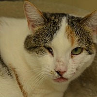 Domestic Shorthair Cat for adoption in Westbury, New York - Missy