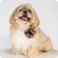 Lhasa Apso Dog for adoption in St. Louis Park, Minnesota - Lacey