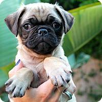 Adopt A Pet :: Prime Rib - Los Angeles, CA