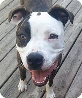 Pit Bull Terrier/Boxer Mix Dog for adoption in Monroe, Michigan - Fontina - Adoption Pending