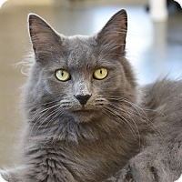 Domestic Longhair Cat for adoption in Wilmington, Delaware - Davey