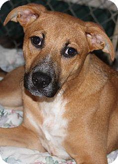 Blue Heeler Mix Puppy for adoption in Savannah, Missouri - Bonnie