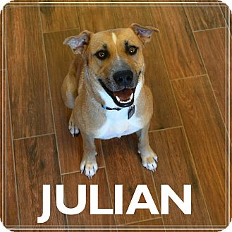Labrador Retriever/Black Mouth Cur Mix Puppy for adoption in Spring Valley, New York - Julian - MUST SEE VIDEO!