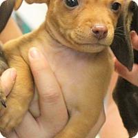 Dachshund Mix Puppy for adoption in Red Bluff, California - Frankenstien