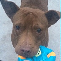 Pit Bull Terrier/Labrador Retriever Mix Dog for adoption in Albion, New York - Ana