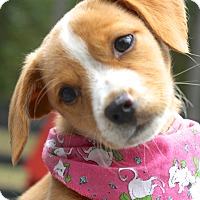 Beagle Mix Puppy for adoption in West Grove, Pennsylvania - Daphne