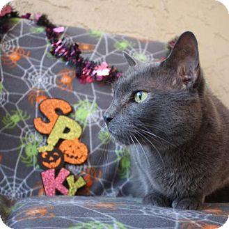 Russian Blue Cat for adoption in Phoenix, Arizona - Harley