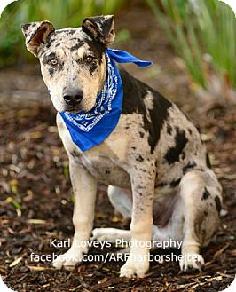 Catahoula Leopard Dog/Pit Bull Terrier Mix Puppy for adoption in Redondo Beach, California - Taji-ADOPT Me!