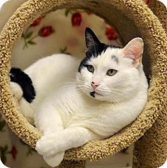 Domestic Shorthair Cat for adoption in Ventura, California - Tyg (Tiggers)