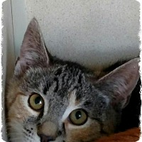Adopt A Pet :: Sonya - Pueblo West, CO