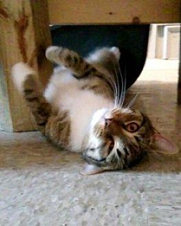 Domestic Shorthair Cat for adoption in Sistersville, West Virginia - Bernie