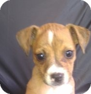American Pit Bull Terrier/Chihuahua Mix Puppy for adoption in Silver Lake, Wisconsin - Sasha