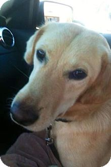 Labrador Retriever Mix Dog for adoption in Chattanooga, Tennessee - Allie