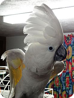 Cockatoo for adoption in Shawnee Mission, Kansas - Halo
