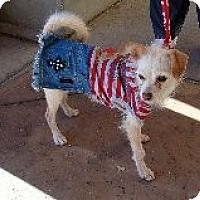 Terrier (Unknown Type, Small) Mix Dog for adoption in Las Vegas, Nevada - Betty Boop