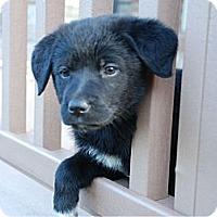 Adopt A Pet :: Allie - Denver, CO