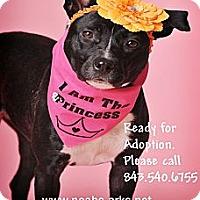 Adopt A Pet :: DOMINO - Okatie, SC