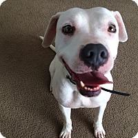 Adopt A Pet :: Kavi - Las Vegas, NV
