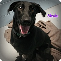 Adopt A Pet :: Shade - Muskegon, MI