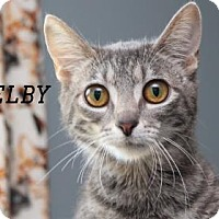 Domestic Shorthair Cat for adoption in Edwardsville, Illinois - Shelby